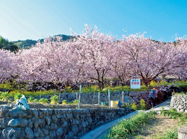 雪割桜 - 須崎市観光協会ホームページ